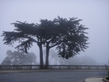 Cyprus tree in fog outside the Legion of Honor, San Francisco, CA (c) Winter Shanck, 2012