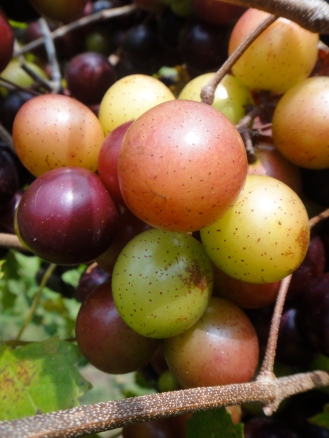 Muscadine grapes, Irvin House Vineyards, Wadmalaw Island, SC