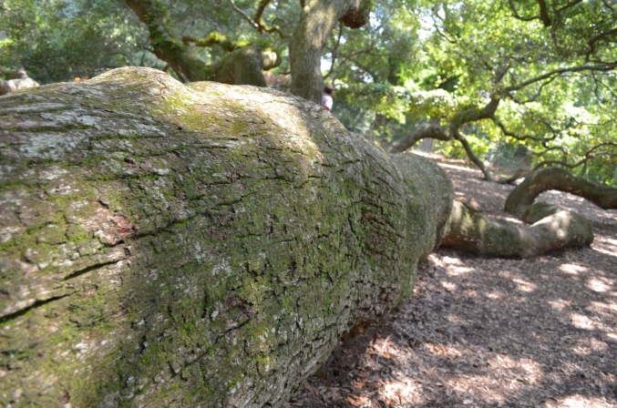 Angel Oak root, John's Island, SC (c) Winter Shanck, 2013