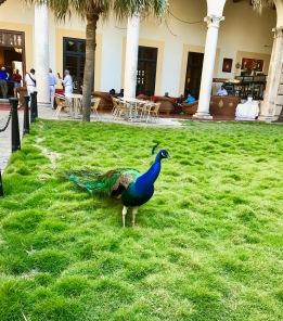 Peacock at Hotel Nacional